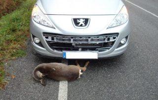 Accidente de tráfico en una carretera de la provincia con un corzo. AEP