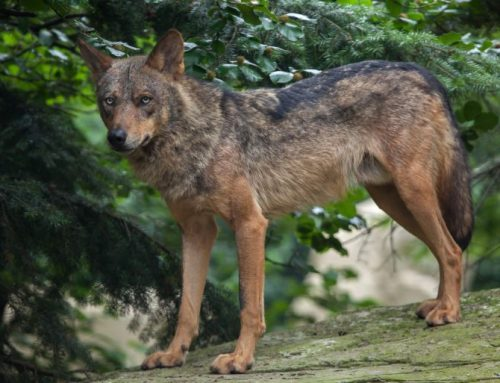 Matan un lobo en San Martín de la Vega para frenar los ataques al ganado