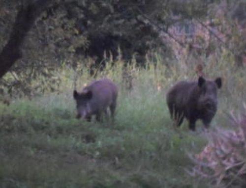 Las tres especies más problemáticas de la caza mayor (José Luis Garrido)
