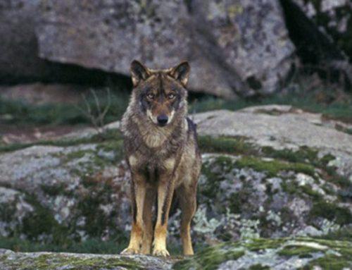 Otra vez… nuevos ataques de lobo en dos explotaciones y a sólo 1 kilómetro del casco urbano