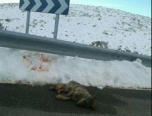 El atropello intencionado de un lobo en Gredos desencadena la petición de investigar a Junta y Seprona