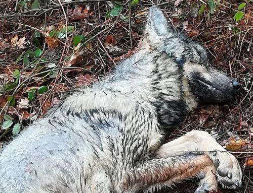 Sociedades de caza condenan la muerte a tiros de un lobo en el monte de Barro