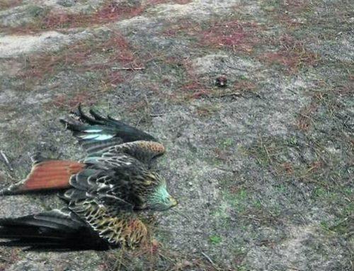 El cebo envenenado amenaza la fauna protegida de La Pedraja