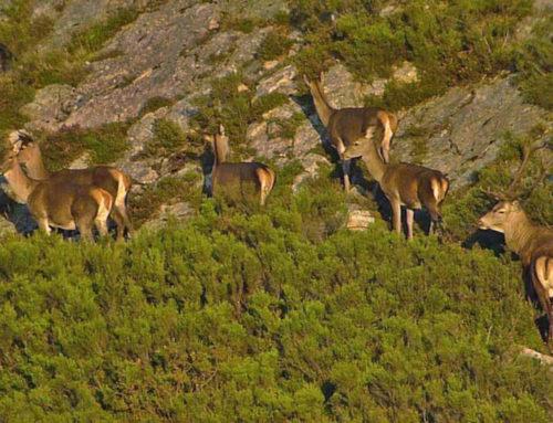 Indignación en Riaño al reservarse la Junta 98 venados para alimentar lobos