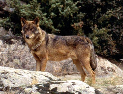Indignación en el mundo rural por la suspensión cautelar de la caza del lobo