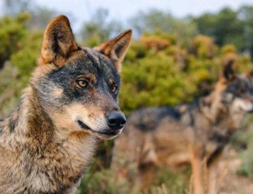 Los lobos abatidos en la Comunidad son el 55% de los autorizados por la Junta
