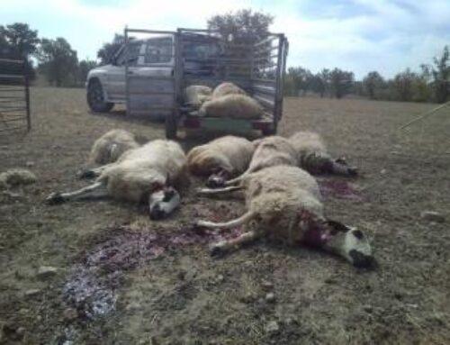 Los lobos se ceban con una ganadería de Fresno de Sayago por quinta vez