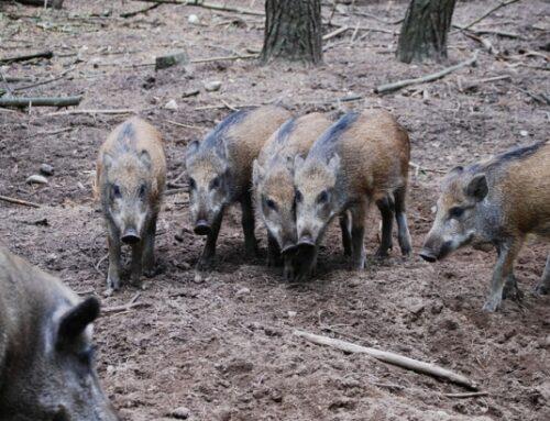 Los ganaderos piden a la Diputación Foral de Guipúzcoa y a los cazadores que llegan a un acuerdo sobre las capturas de jabalíes