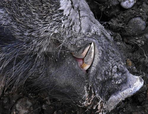 Un jabalí ataca a unos excursionistas y su perro muere por enfrentarse a él