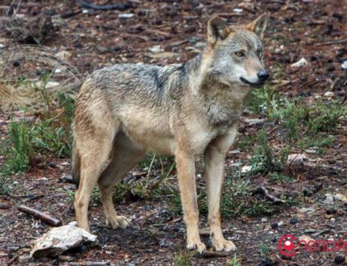 Los ciervos, corzos y lobos que podrán cazarse en la Sierra de la Culebra