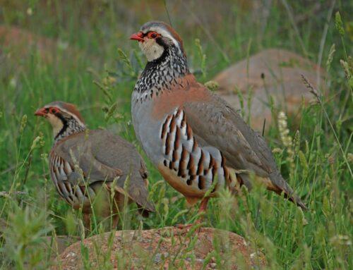 Respuesta de la Federación de Caza a la propuesta de SEO/Birdlife de declarar a la perdiz roja como especie vulnerable
